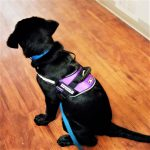 Preparing for Public Debute: Amber Service-Dog-in-Training